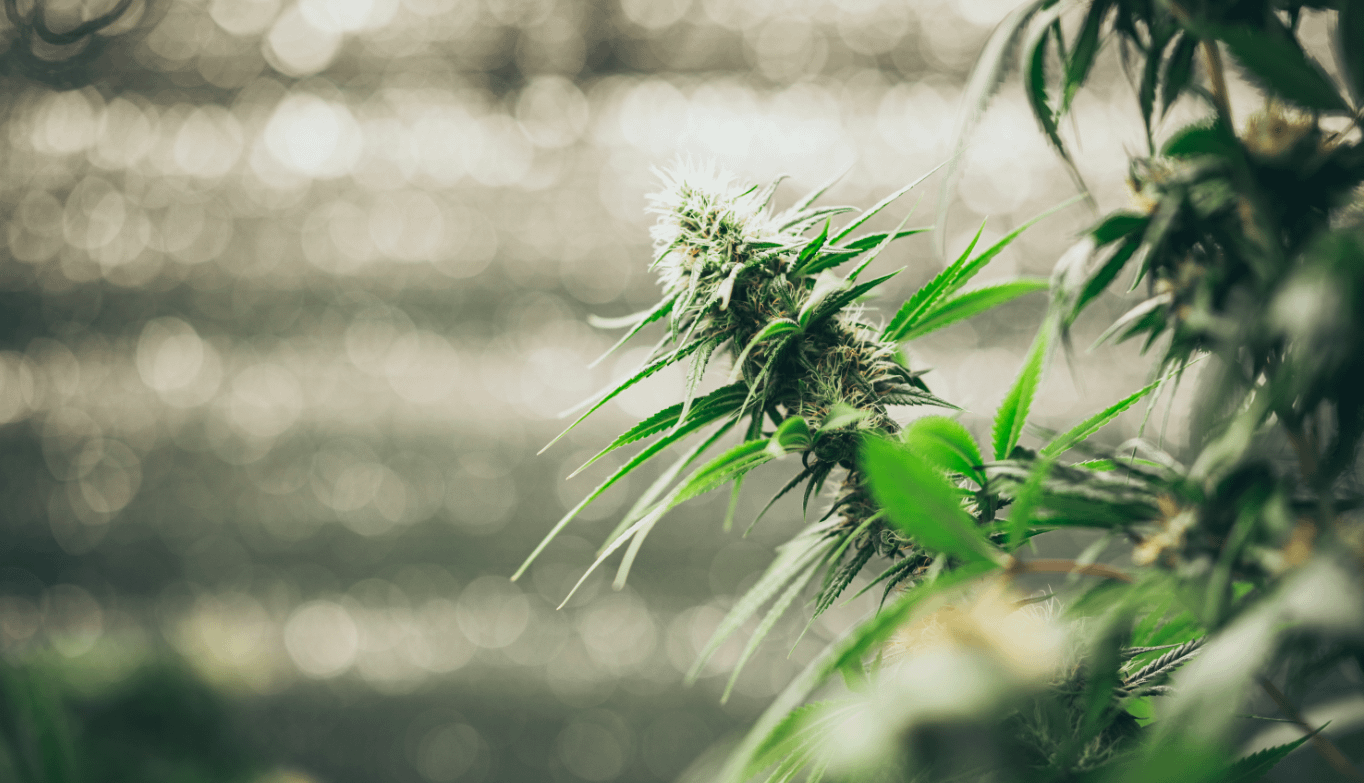 Buy Cannabis online from Canada Weed in Stock now express shipping